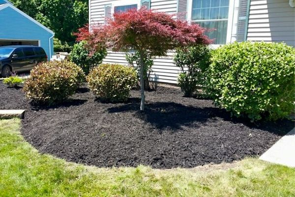 Tree and bushes trimmed in a mulch bed.